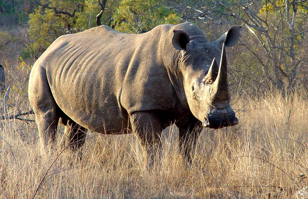 wildlife animals of rhinos picture gallery